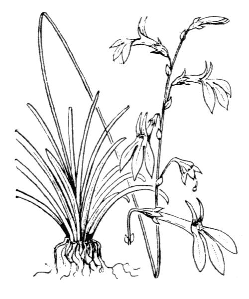 Lobelia dortmanna L. - illustration de coste