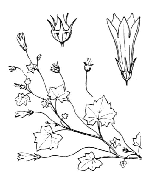 Wahlenbergia hederacea (L.) Rchb. - illustration de coste