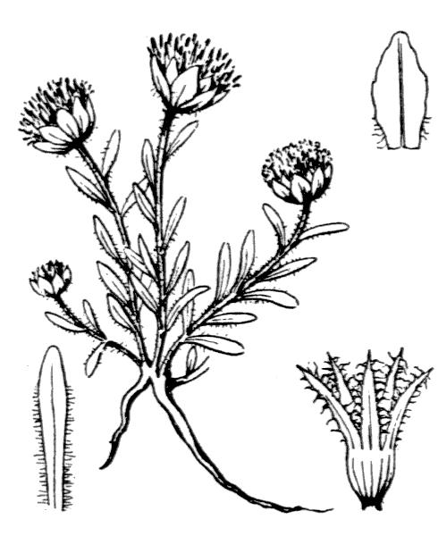 Jasione crispa (Pourr.) Samp. - illustration de coste