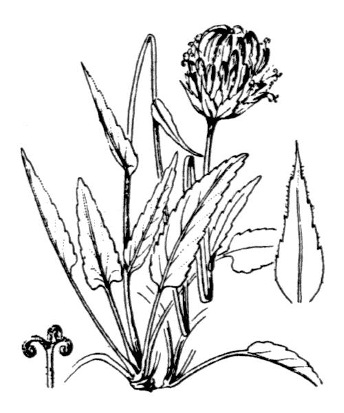 Phyteuma orbiculare L. - illustration de coste
