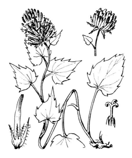 Phyteuma cordatum Balb. - illustration de coste