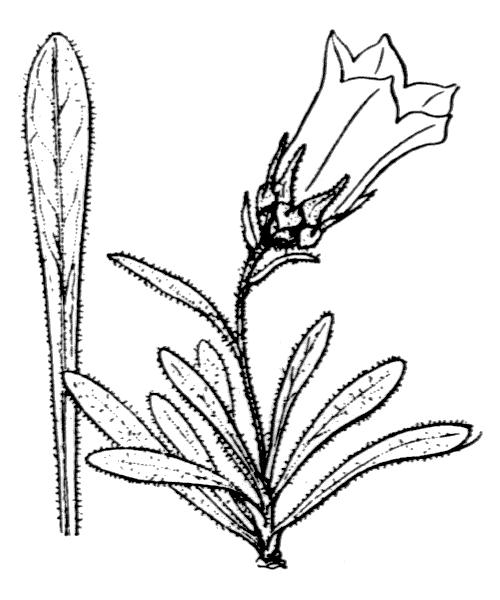 Campanula alpestris All. - illustration de coste