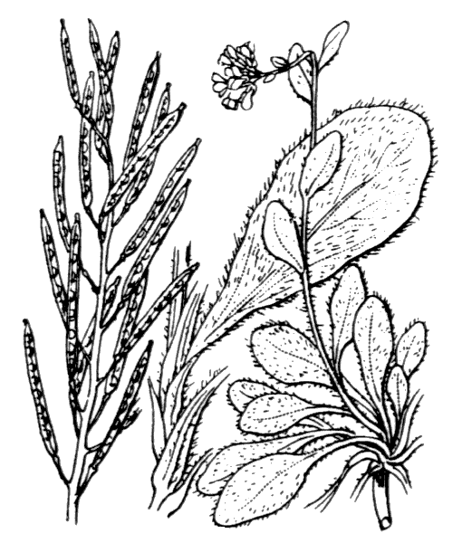 Arabis ciliata Clairv. [1811] - illustration de coste