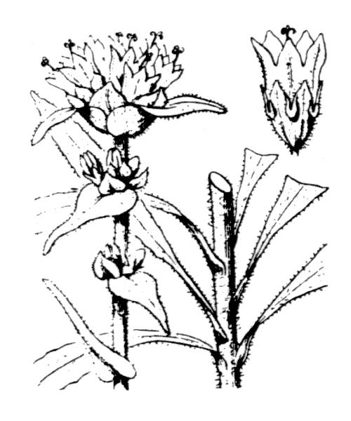Campanula cervicaria L. [1753] - illustration de coste