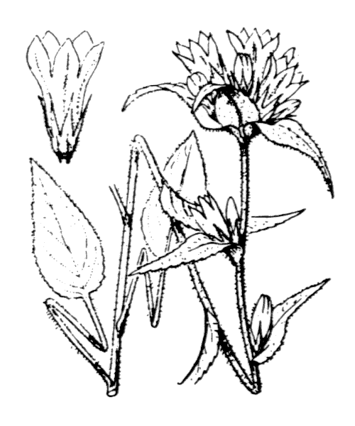 Campanula glomerata L. - illustration de coste