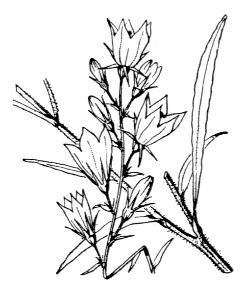 Campanula rapunculus L. - illustration de coste