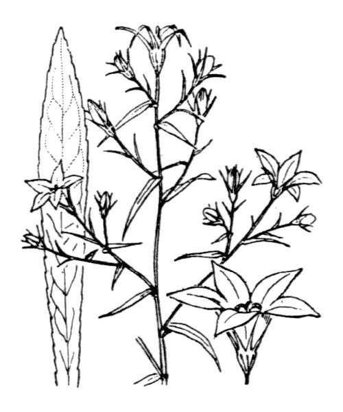 Campanula patula L. [1753] - illustration de coste