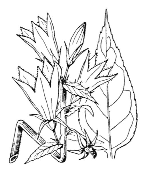 Campanula latifolia L. - illustration de coste