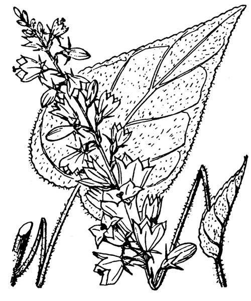 Campanula bononiensis L. [1753] - illustration de coste
