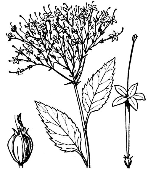 Trachelium caeruleum L. - illustration de coste