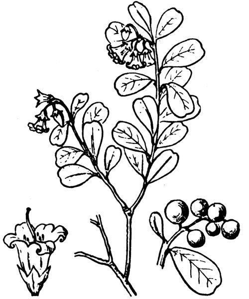 Vaccinium vitis-idaea L. [1753] - illustration de coste