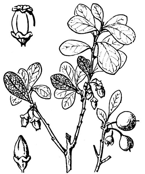 Vaccinium uliginosum L. - illustration de coste