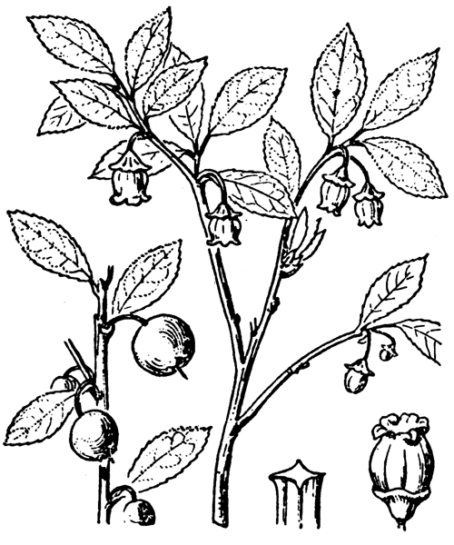 Vaccinium myrtillus L. - illustration de coste