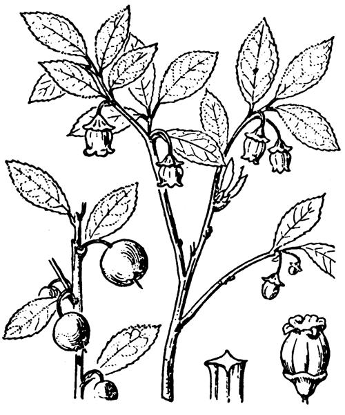 Vaccinium myrtillus L. [1753] - illustration de coste