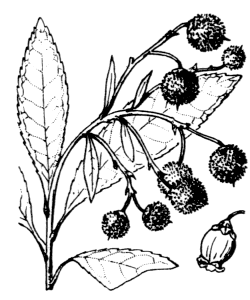 Arbutus unedo L. [1753] - illustration de coste