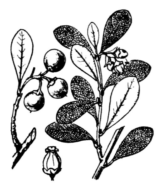 Arctostaphylos uva-ursi var. crassifolius Braun-Blanq. - illustration de coste