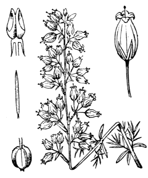 Erica cinerea L. - illustration de coste