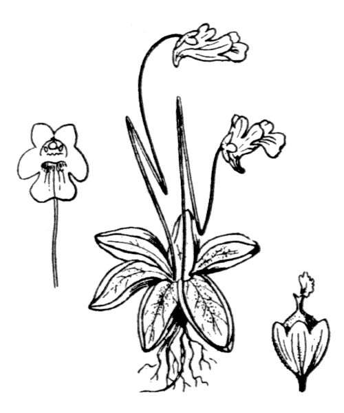 Pinguicula alpina L. - illustration de coste