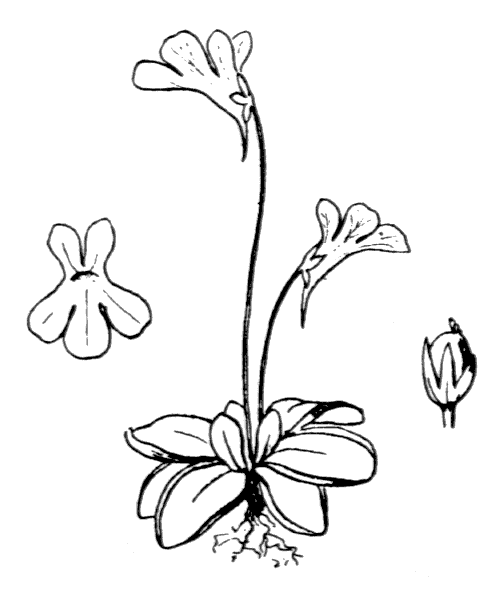 Pinguicula corsica Bernard & Gren. - illustration de coste