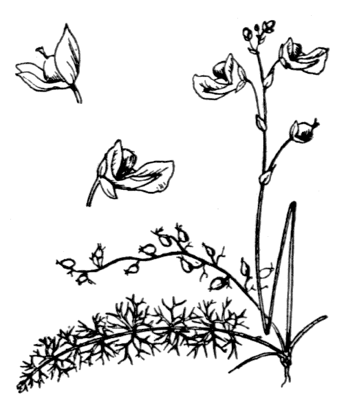 Utricularia intermedia Hayne - illustration de coste