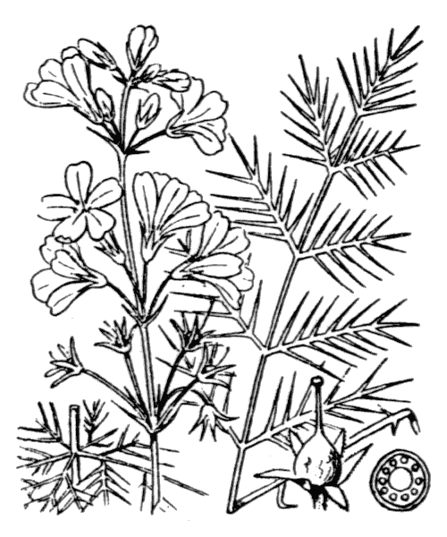 Hottonia palustris L. - illustration de coste