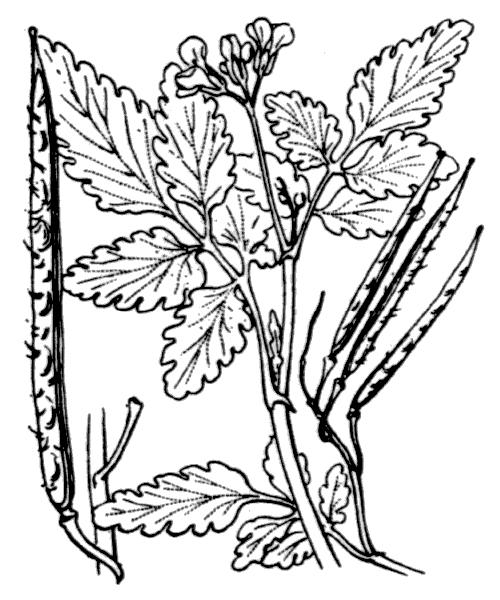 Cardamine chelidonia L. - illustration de coste