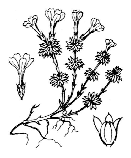 Androsace vitaliana (L.) Lapeyr. subsp. vitaliana - illustration de coste