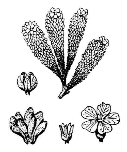 Androsace vandellii (Turra) Chiov. - illustration de coste