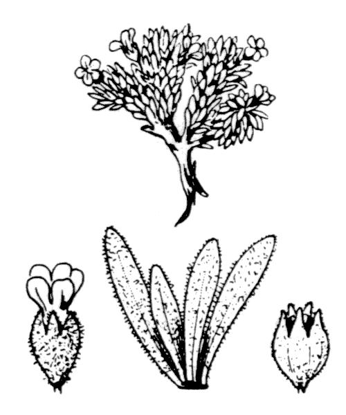 Androsace pubescens DC. - illustration de coste