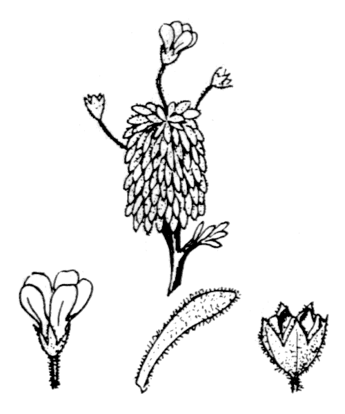 Androsace cylindrica DC. [1805] - illustration de coste