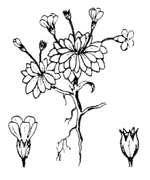 Androsace ciliata DC. [1805] - illustration de coste