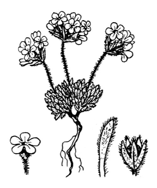 Androsace villosa L. - illustration de coste