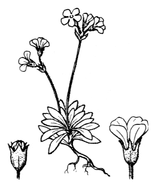 Androsace obtusifolia All. - illustration de coste