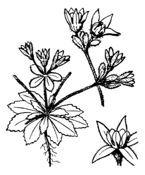 Androsace maxima L. - illustration de coste
