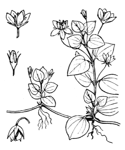 Lysimachia nemorum L. - illustration de coste