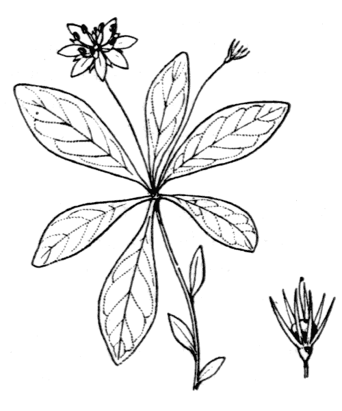 Lysimachia europaea (L.) U.Manns & Anderb. - illustration de coste