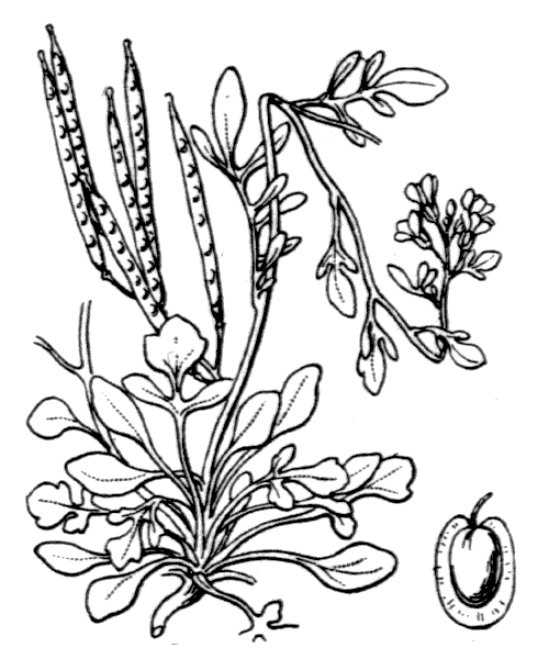 Cardamine resedifolia L. - illustration de coste