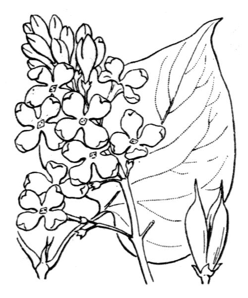 Syringa vulgaris L. - illustration de coste