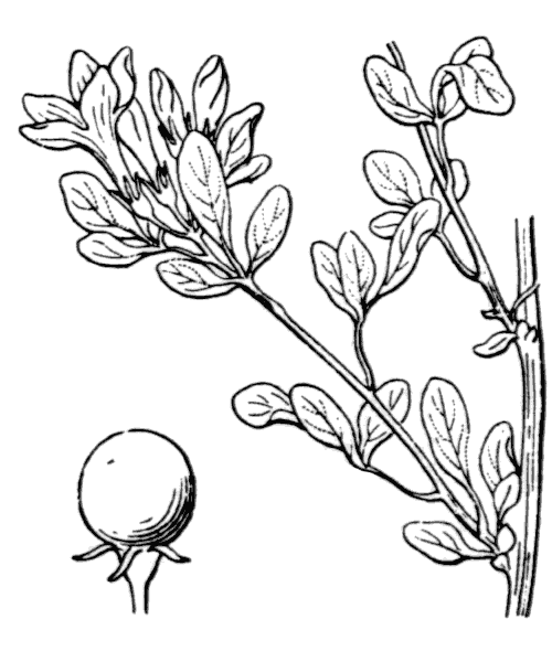 Jasminum fruticans L. - illustration de coste