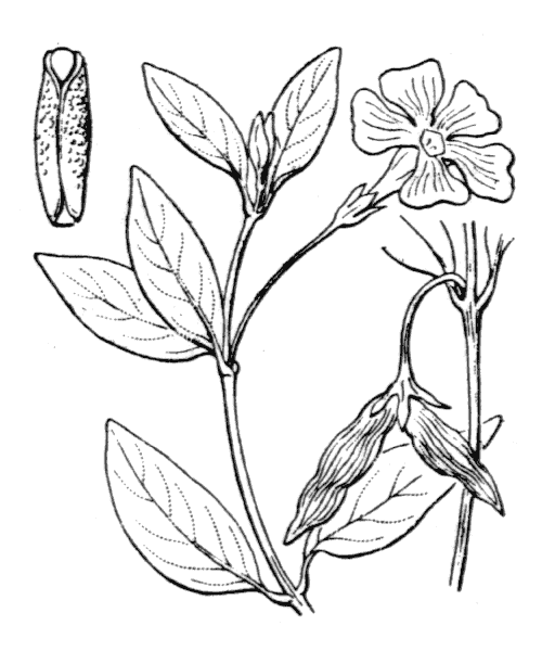 Vinca minor L. - illustration de coste