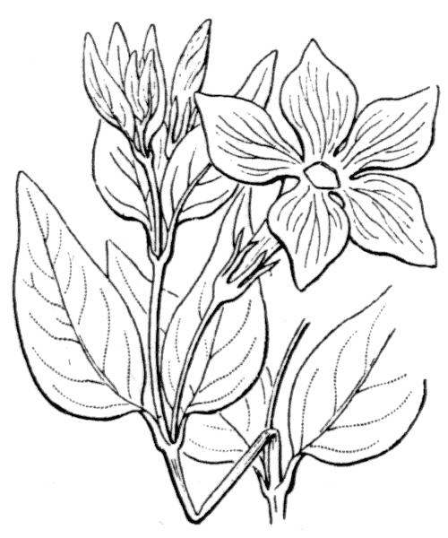 Vinca difformis Pourr. subsp. difformis - illustration de coste