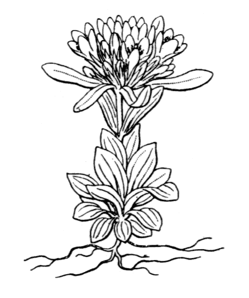 Centaurium erythraea subsp. erythraea var. capitatum (Willd.) Melderis - illustration de coste