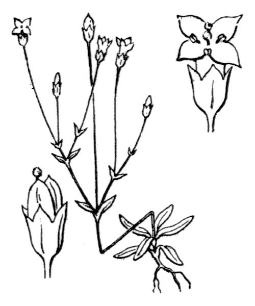 Cicendia filiformis (L.) Delarbre - illustration de coste