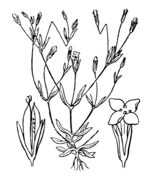 Exaculum pusillum (Lam.) Caruel - illustration de coste
