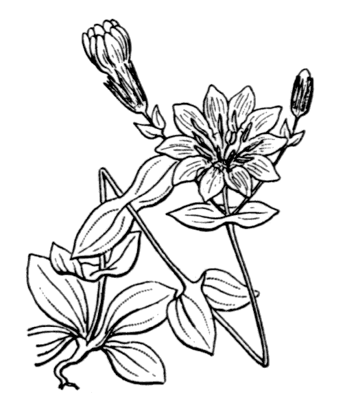 Blackstonia grandiflora (Viv.) Pau - illustration de coste