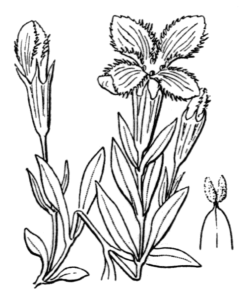 Gentianopsis ciliata (L.) Ma - illustration de coste