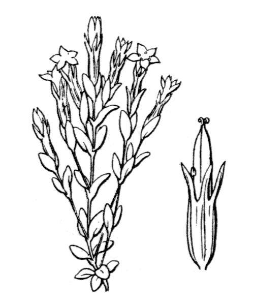 Gentiana nivalis L. - illustration de coste