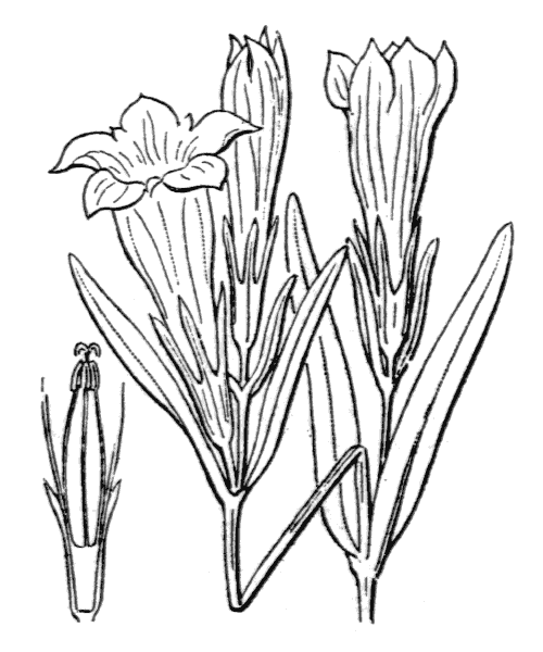 Gentiana pneumonanthe L. - illustration de coste