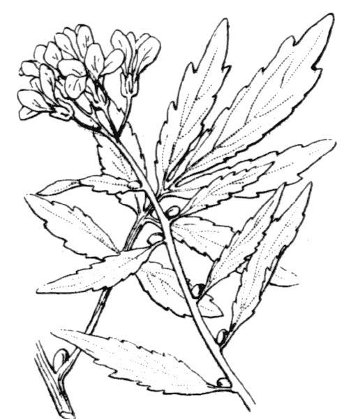 Cardamine bulbifera (L.) Crantz - illustration de coste