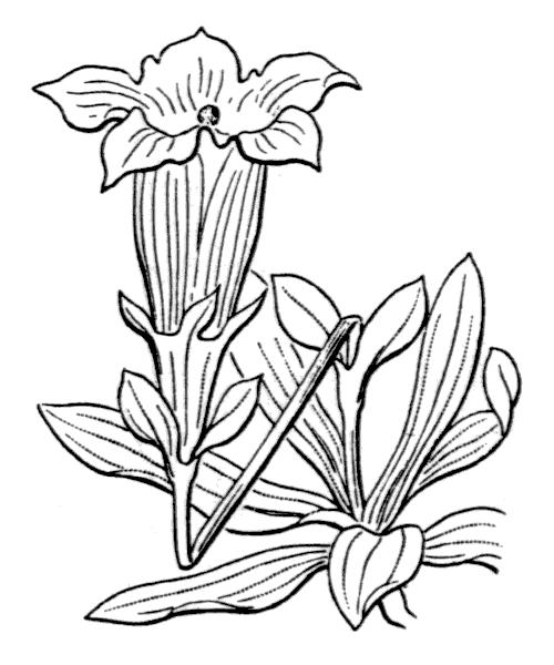 Gentiana angustifolia Vill. [1787] - illustration de coste